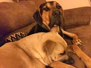 Busted! Hilda and Moose know better than to be on the couch, but way too cute to kick off.